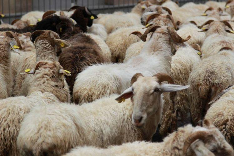 Sardegna, prezzo latte: la protesta dei pastori