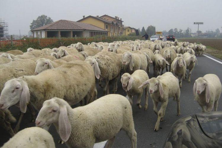 Prezzo latte, la rivolta dei pastori sardi